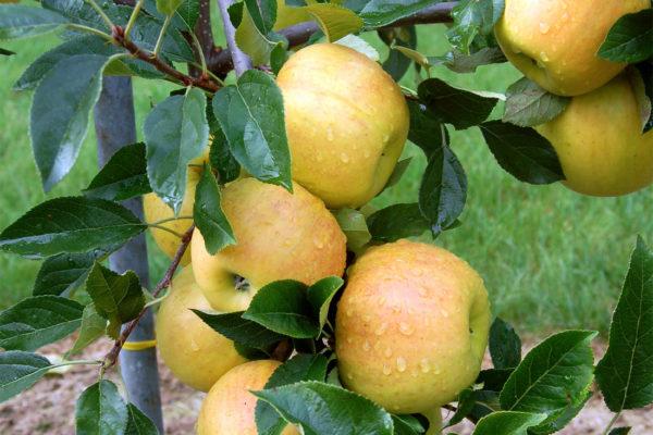 Pěkná jablka z malého tvaru stromu