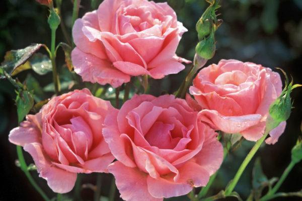 Růže Queen Elisabeth