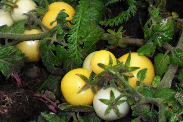 Keříčková rajčata, žlutá odrůda