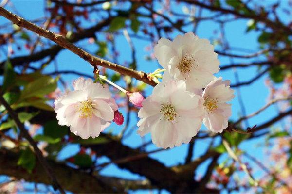 Sakura s moniliniozou