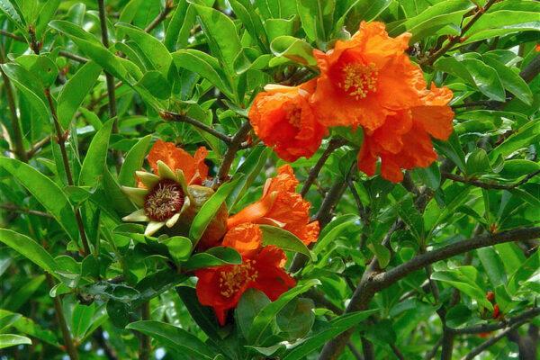 Granátovník obecný kvete a plodí