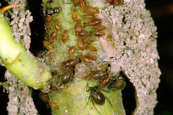 Mravenčí stavby na rostlině určené mšicím