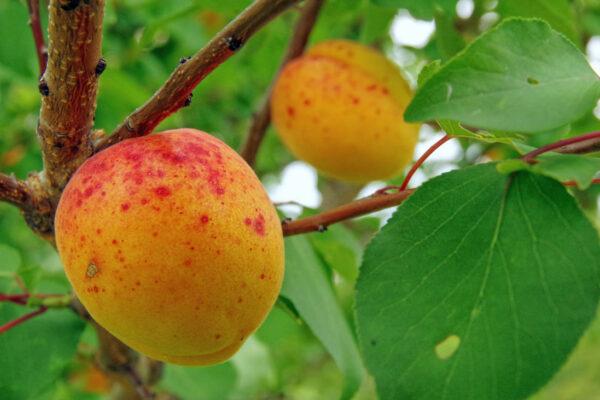 Meruňka odrůdy Velkopavlovická