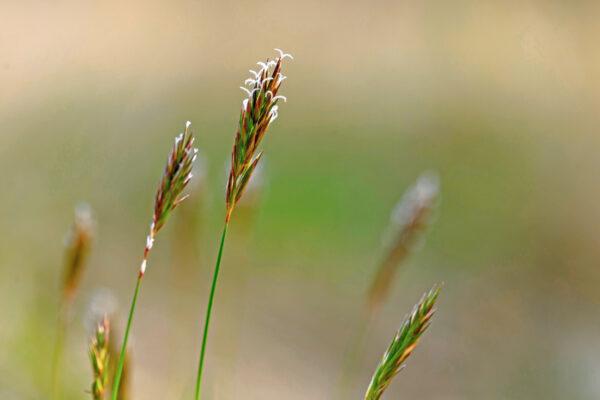 Tomka vonná (Anthoxanthum odoratum)