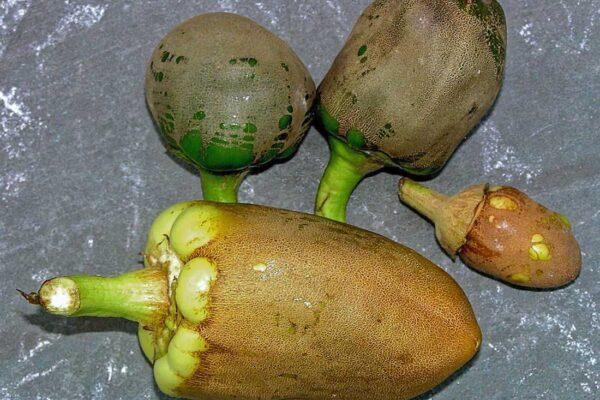 Nejčastěji se poškození objevuje na plodech paprik