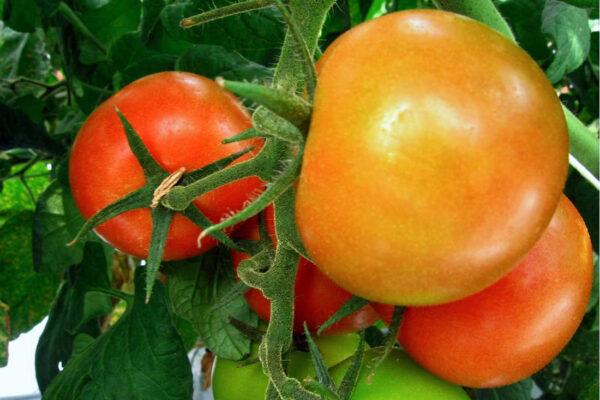 Rajčata sklízíme, až se naplno vybarví