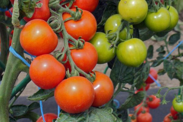 Rajčata zrají až v dospělé velikosti