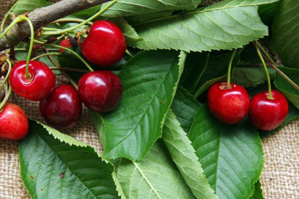 Stará odrůda třešně Doupovská