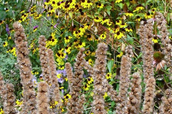 Liatris spicata na podzim