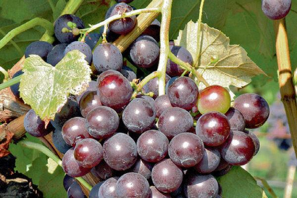 Alden, stolní odrůda révy