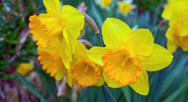Narcisy v zahradě