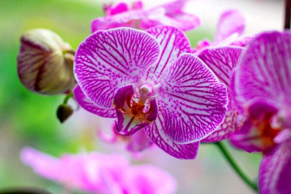 Falenopsis