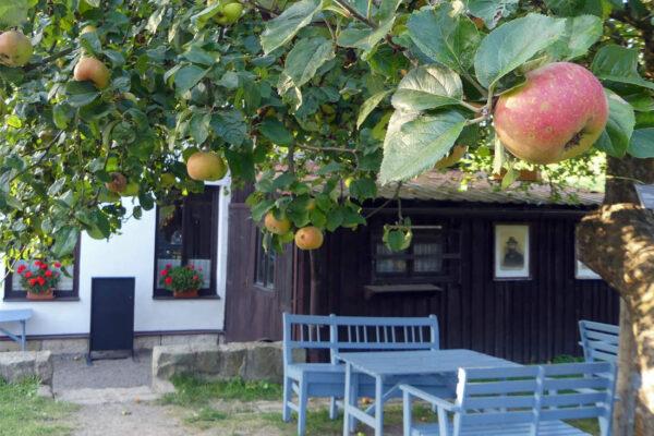 Blenheimská reneta v Machově, strom roku 2020