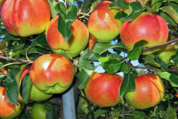 Jabloň odrůdy Lipno