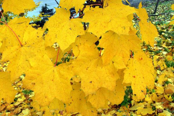 Žlutá barva tuzemského podzimu převládá