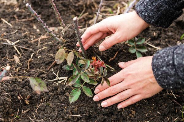 Výsadba sazenice růže