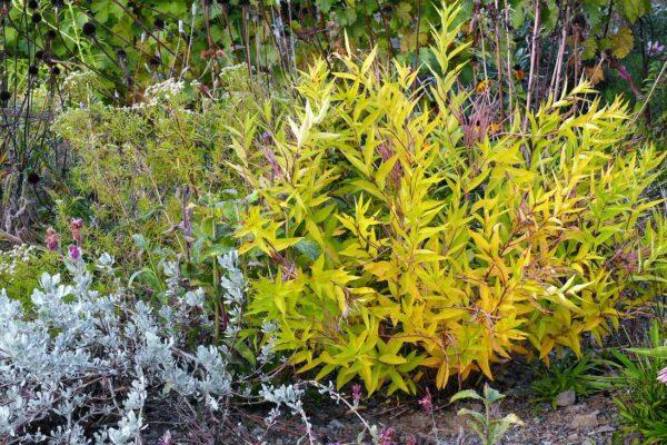 Podzimní amsonie cf. illustris