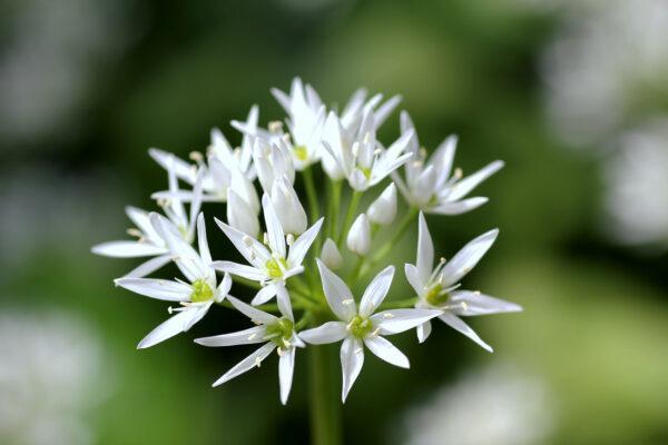 Tak kvete Allium ursinum