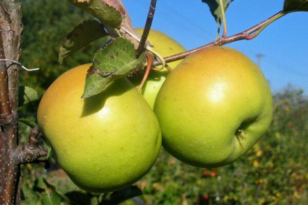 Odrůda jabloně Goldstar