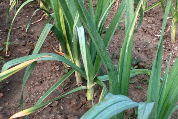 Pórek se stal vyhledávanou zeleninou také z vlastní zahrady