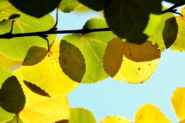 Podzimní listy marličníku japonského (Cercidiphyllum japonicum)