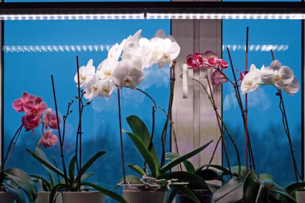 Phalaenopsis pod světly během zimy