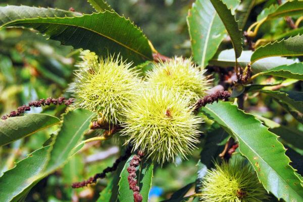 Plodem kaštanovníku setého je ostnitý ořech s jedlými semeny