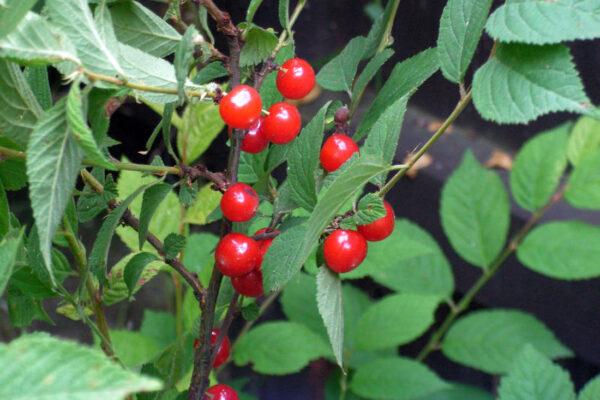Višeň plstnatá (Prunus tomentosa)