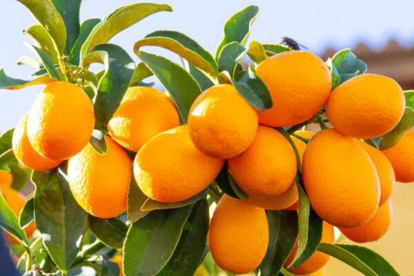 Kumkvát z rodiny citrusů