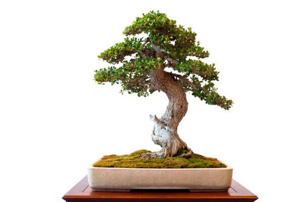 Olivovník proměněný na bonsaj
