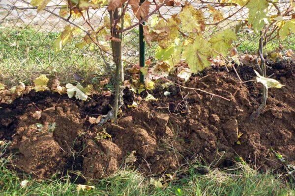 Vinice po zapravení kompostu do půdy