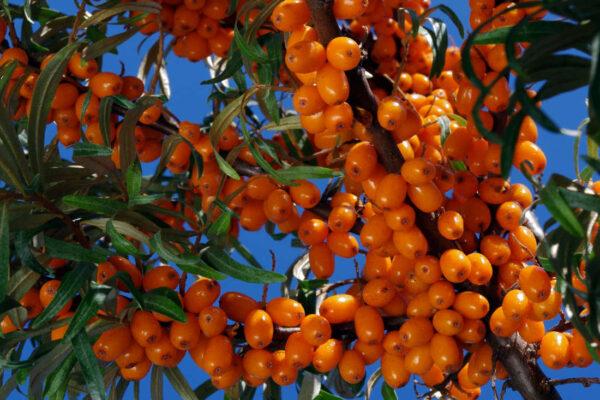 Odrůda rakytníku Sluníčko