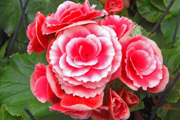 Begonie vyvýšená neboli pokojová begonie známá pod latinským názvem Begonia elatior