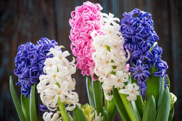 Hyacinty v pastelových barvách
