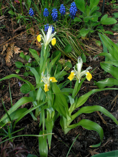 Iris (Juno) bucharica