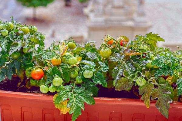 Rajčata v truhlíku za oknem