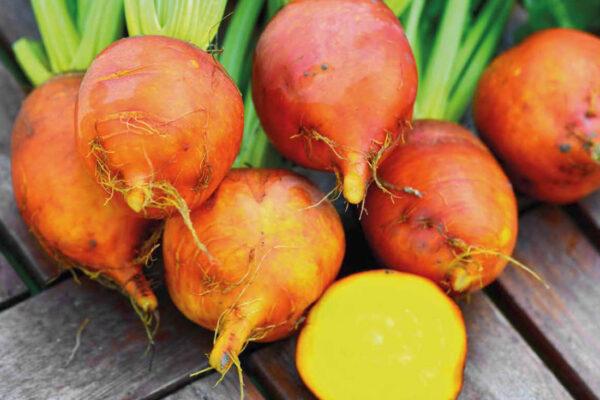 Řepa v oranžovo žlutém provedení