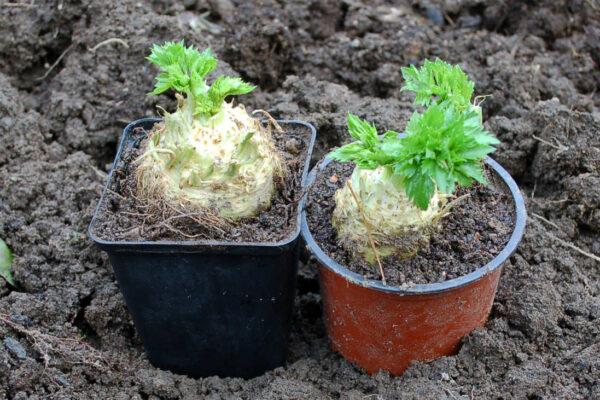 Malý celer se na jaře hodí k rychlení