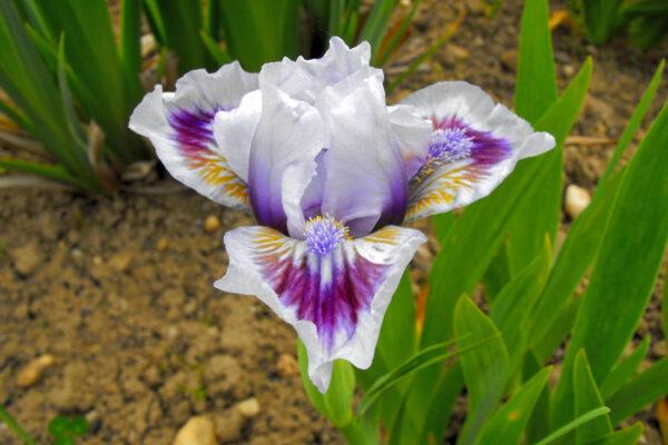 Kultivar Lilac Arrows