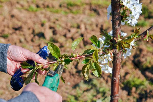 Řez třešně v květu