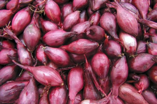 Odrůda cibule sazečky Karmen