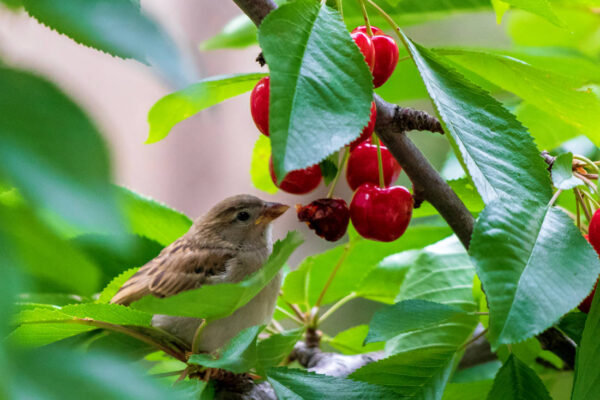 Vrabce zaujaly třešně