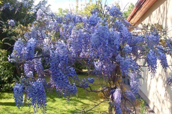 Fialkově kvetoucí vistárie