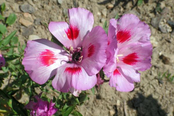 Zářivka velkokvětá (Godetia grandiflora)