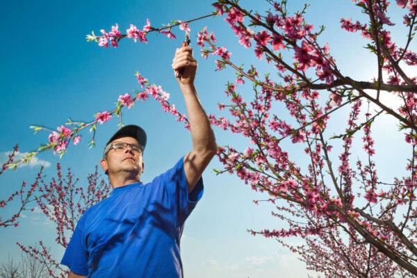 Aby se rány po řezu co nejlépe hojily, řežou se peckoviny často v období květu