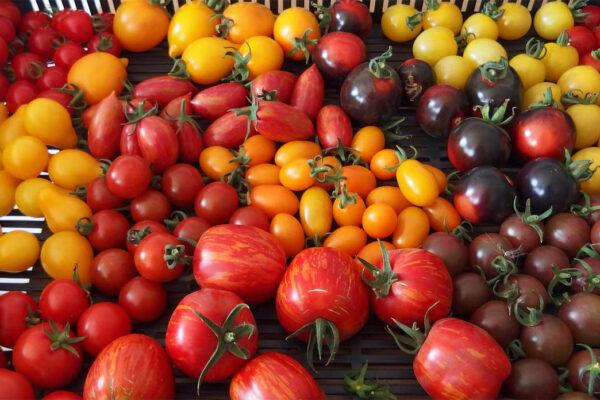 Rajčata různých tvarů a barev