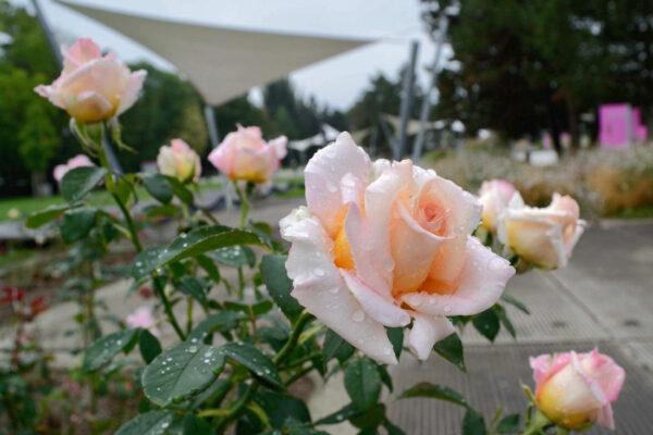 Zahradní architektura olomouckého Rozária po svém růžím lichotí