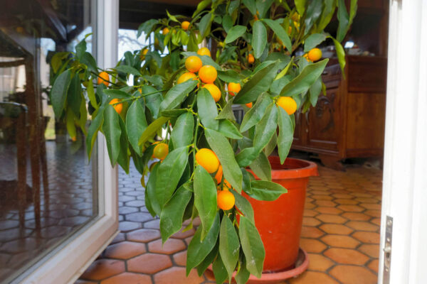 Chladnou část roku tráví citrus pod střechou