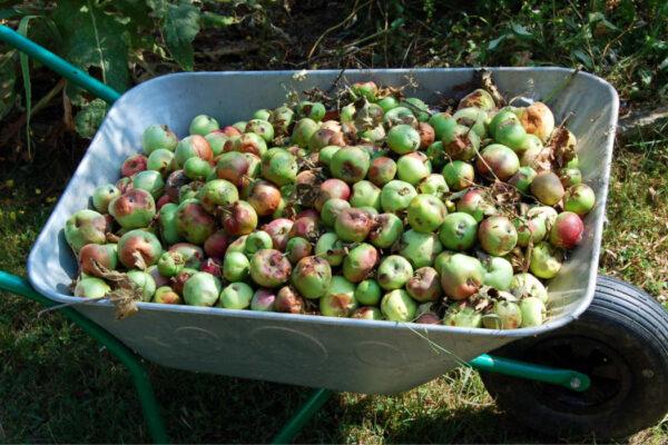 Krupobitím potlučená a spadaná jablka