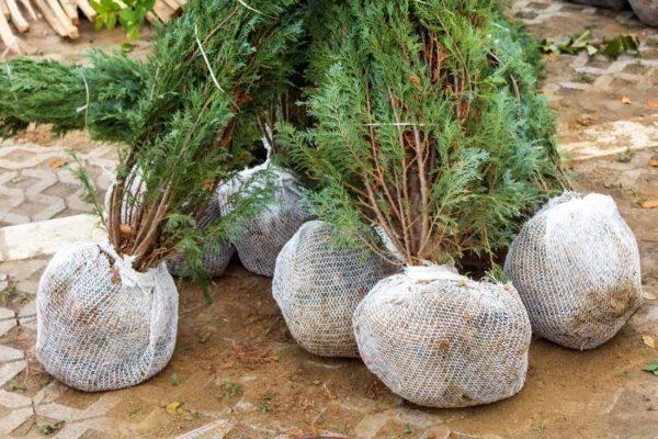 Kořenové vlášení bude vzrostlou rostlinu zásobovat vláhou